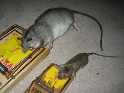 Rid of Rats